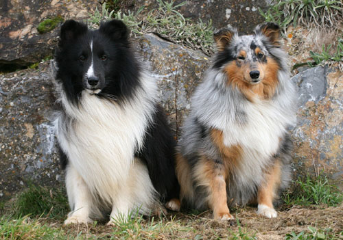 shamrock river sheltie